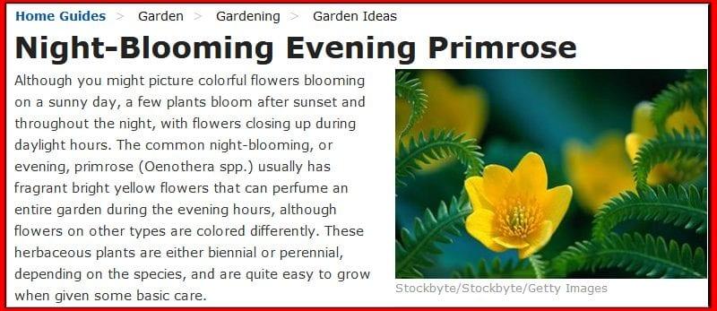 night-blooming evening primrose
