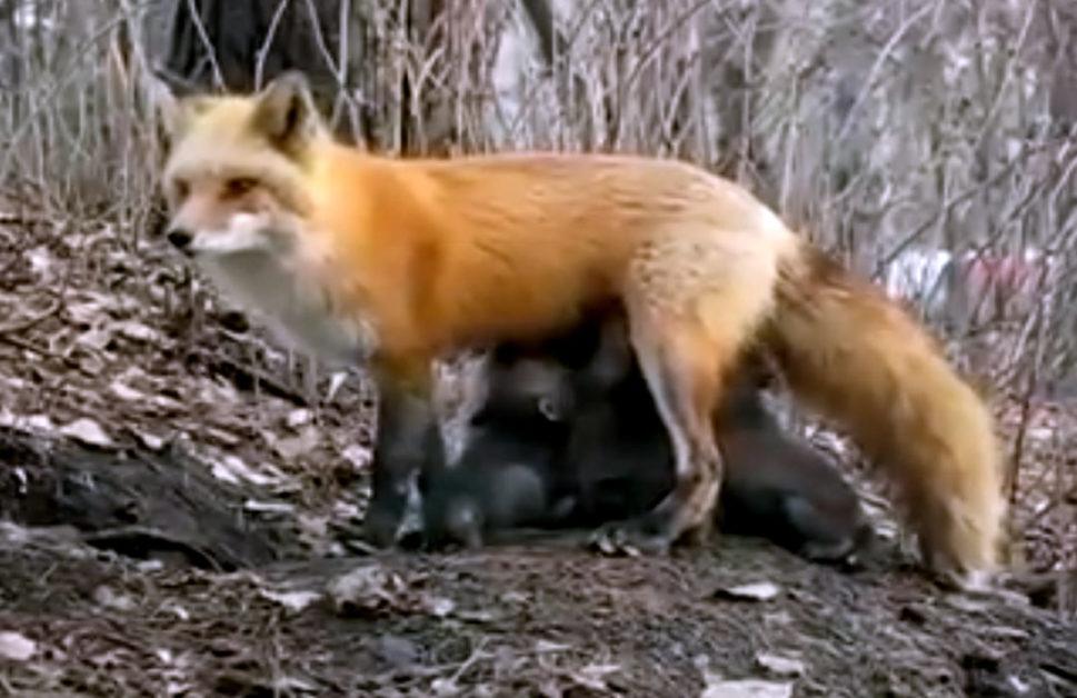 إرضاع أنثى ثعلب لمجموعة من صغار الدب ماتت أمهم!ما حقيقة ...