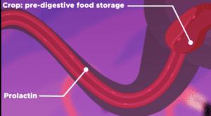 تنتج طيور الفلامينجو حليباً أحمر اللون في المسالك الهضمية