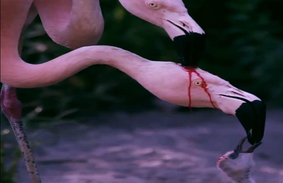 طائر الفلامينغو ينزف ويطعم صغيره دمًا، ما الحقيقة؟ّ!