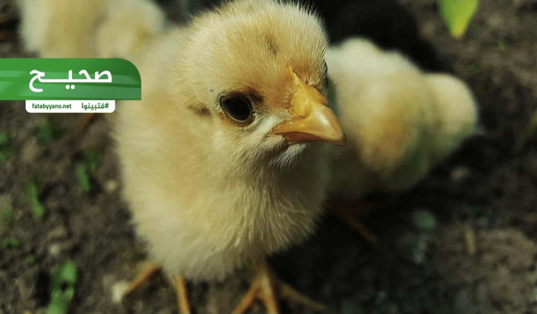 ايران تدفن دجاج حي