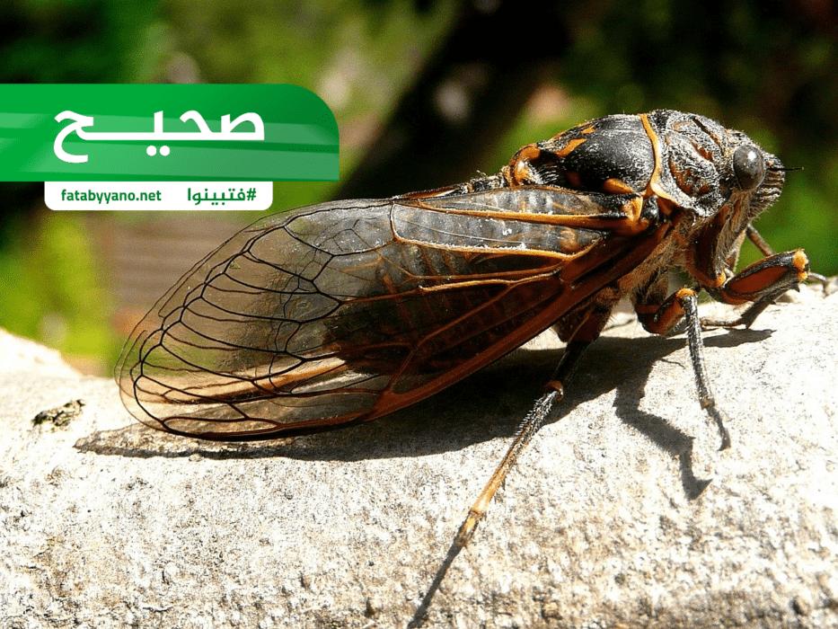 حشرة الزيز