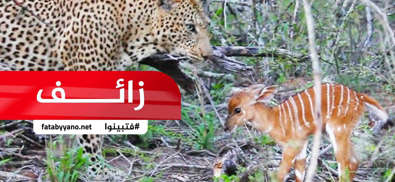 نمر أثناء صيد غزالة ولدت، فأخذ النمر الصغير واعتنى به حتى كبر