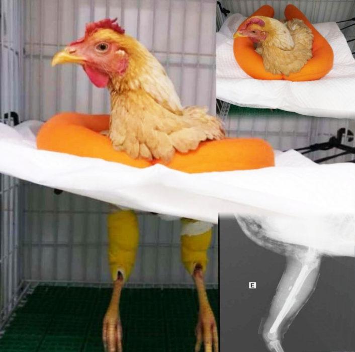 صور الدجاجة التي خضعت للعملية الجراحية في البرازيل وليس مصر