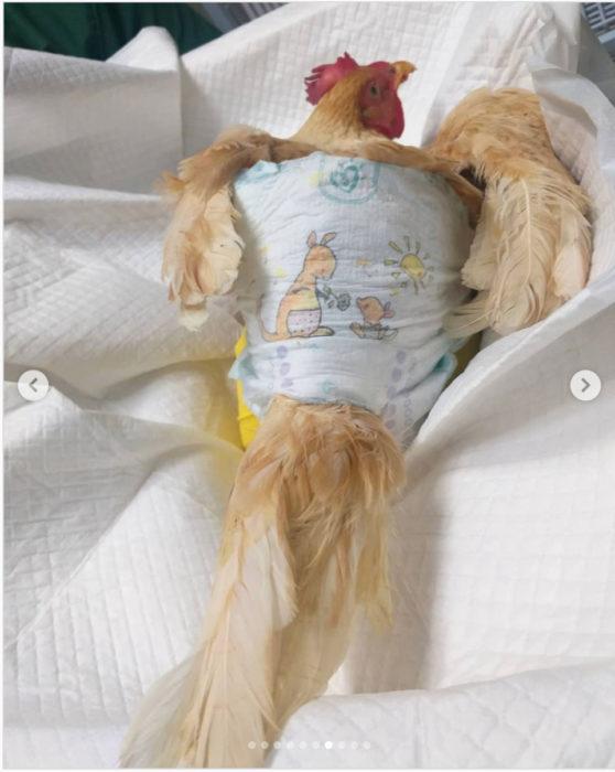 الدجاجة التي أجريت لها العملية الجراحية