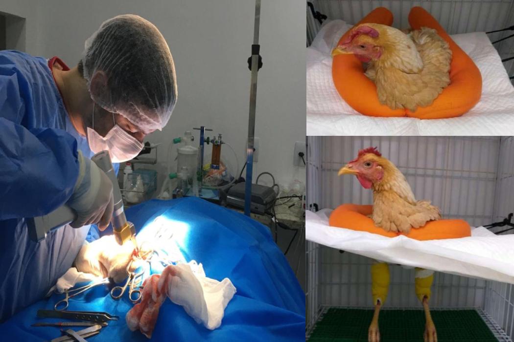 الدجاجة التي خضعت للعملية الجراحية في البرازيل وليس مصر