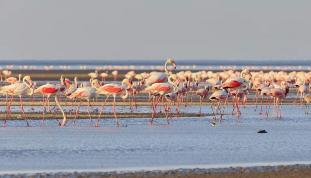 طيور الفلامنجو النحام تتكاثر في بحيرة النطرون