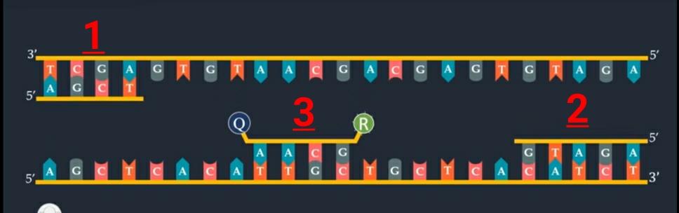 صورة توضح عمل ال 3 قطع الجينية المرتبط ببعضها البعض