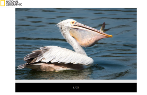 national giographic Pelicans فتبينوا