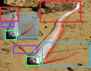 مقارنة بين الصورتين لسمك المجداف فتبينوا