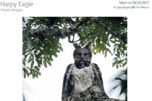 العقاب المخادع - harpy eagle ليس طائر ليلي ولا أكبر طائر ولا يخطف الأطفال فتبينوا